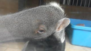 オオアリクイ (静岡市立 日本平動物園) 2019年9月29日