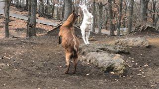 じゃれ合う ヤギ のこどもたち (くじゅう自然動物園) 2019年12月6日