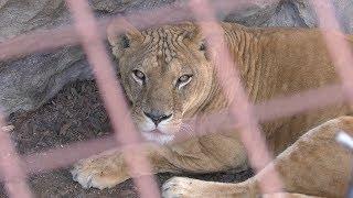 ライオン の『ラヴィ』 (福山市立動物園) 2019年2月25日
