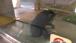 脳性麻痺のチンパンジー『ミルキー』 (高知県立のいち動物公園) 2018年3月24日
