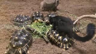 ホウシャガメの上に乗るクロキツネザル (上野動物園) 2018年7月7日