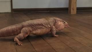 アルゼンチン レッドテグー  の『ザクロくん』 (爬虫類カフェ れぷはうす) 2019年12月24日