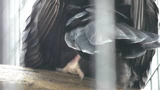 ヒメコンドル (天王寺動物園) 2017年11月3日