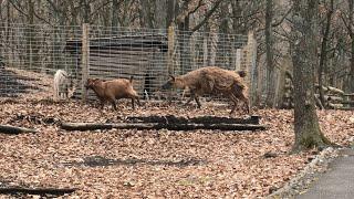 ラマ と ヤギ (くじゅう自然動物園) 2019年12月6日