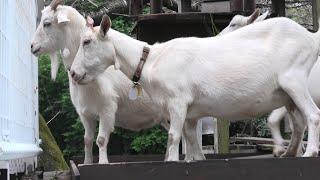 Goat (Sakura Kusabue no Oka, Chiba, Japan) September 12, 2020
