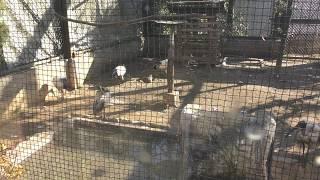 アフリカクロトキ (仙台市八木山動物公園/セルコホーム ズーパラダイス八木山) 2018年1月20日