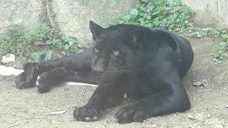 黒ジャガー の『小梅』 (静岡市立 日本平動物園) 2019年9月29日