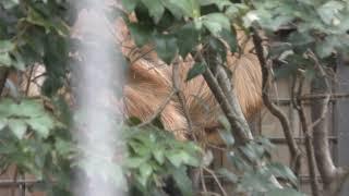 タテガミオオカミ (上野動物園) 2018年12月11日