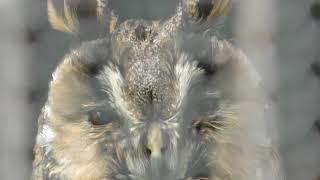 Long-eared Owl (Obihiro Zoo, Hokkaido, Japan) July 6, 2019