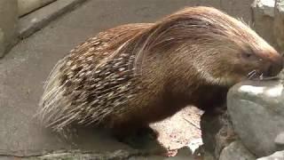 インドタテガミヤマアラシ (羽村市動物公園) 2018年4月8日