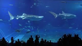 沖縄美ら海水族館 (2019年5月10日)