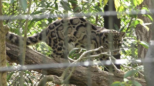 国内動物園の ウンピョウ 飼育状況