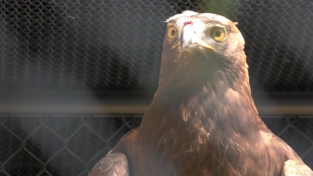 Golden eagle (japanese)