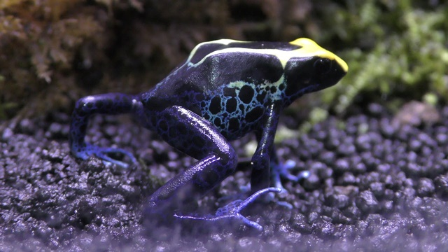 Amphibia