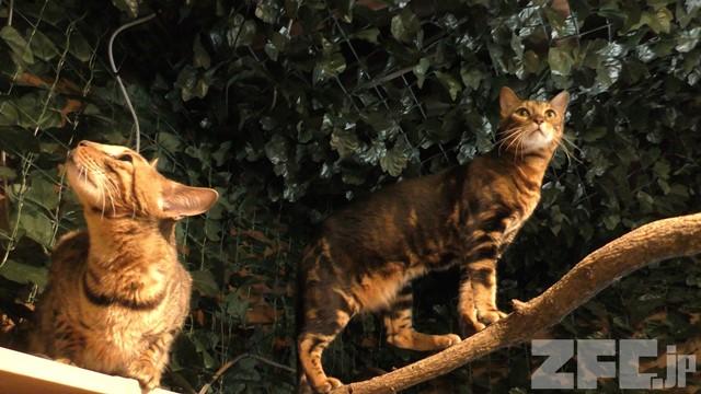 嚴島ヒョウ猫の森